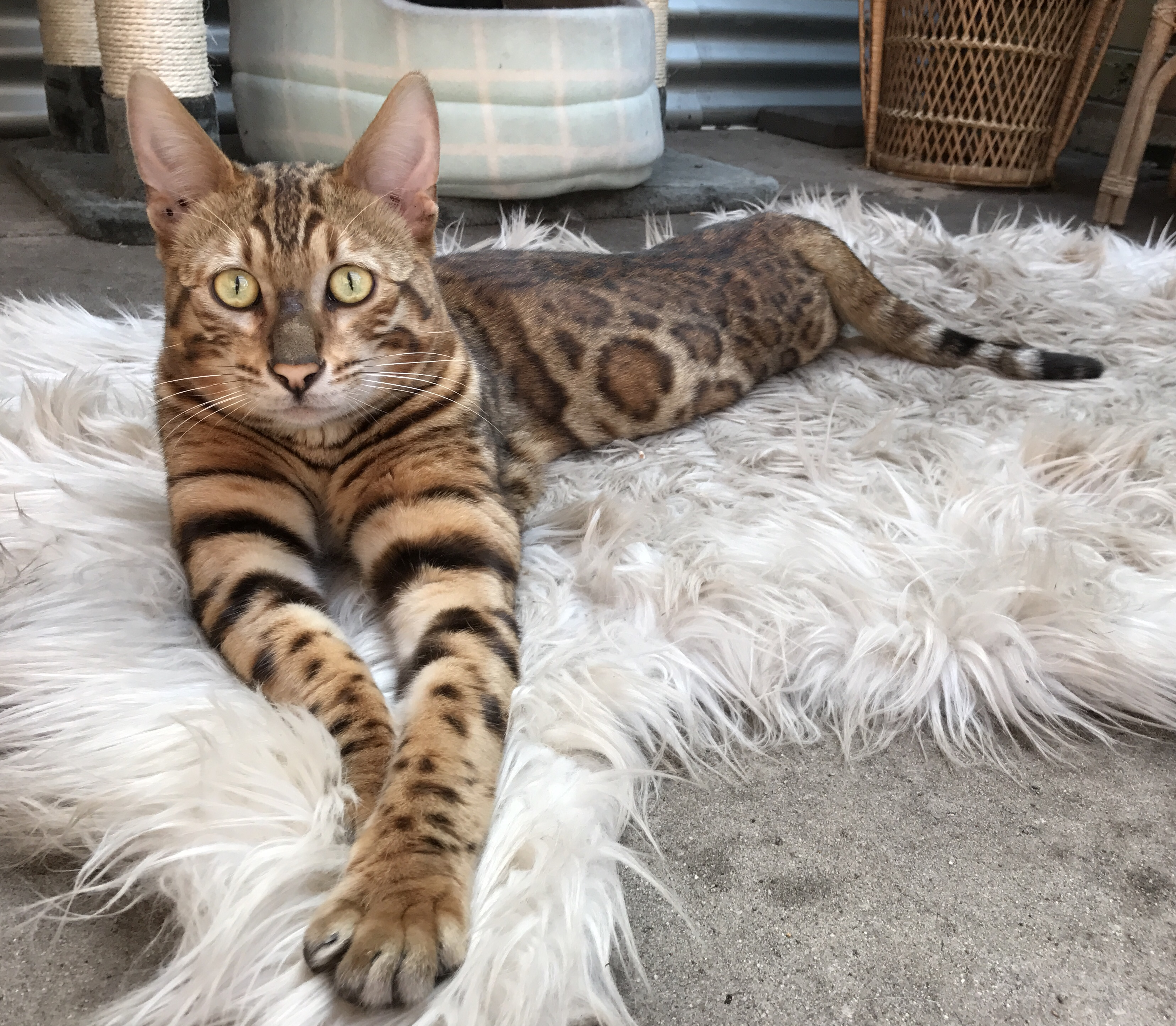 bengal cat breeders near me