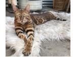 Bengali Bengals - Bengal Cat Breeder - Port Stephens, NSW