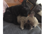Margyshotdog - French Bulldog and British Bulldog Breeder - Perth, WA
