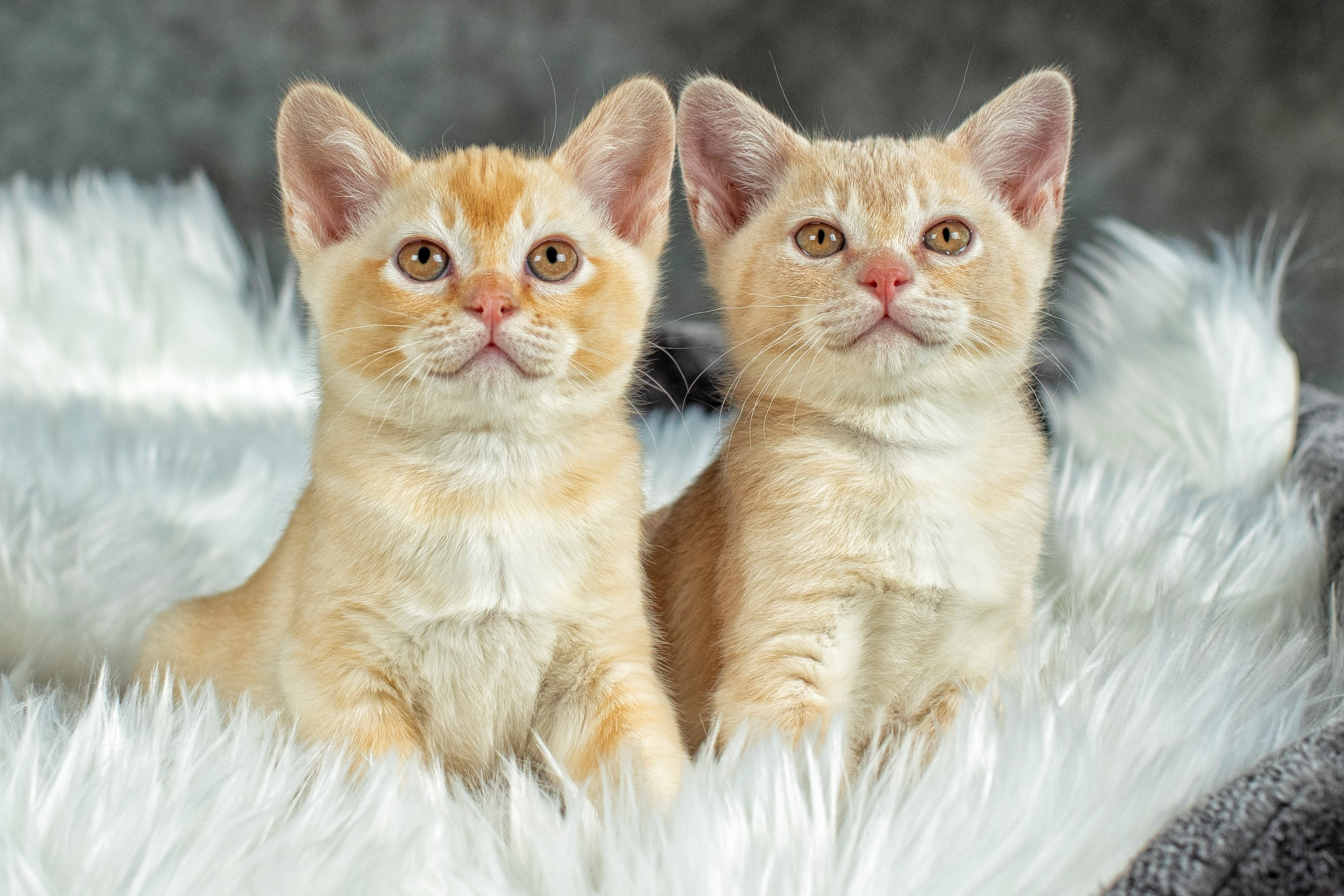 Red and Cream Burmese kittens gallery image