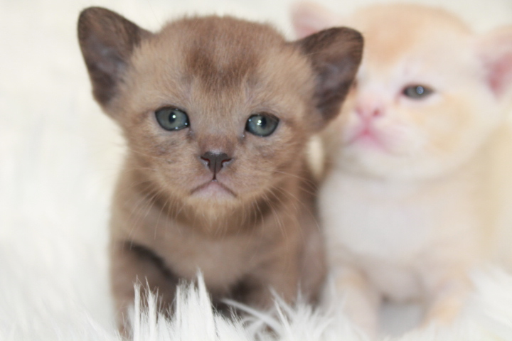 Brown Female Burmese Kitten gallery image