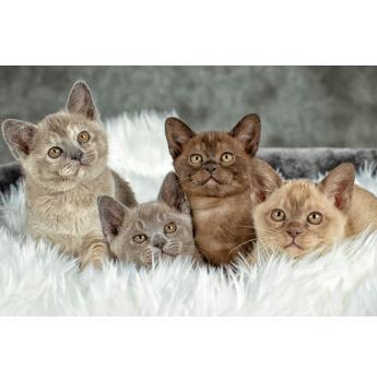 Ramaal Burmese - Burmese Cat Breeder - Sydney, NSW