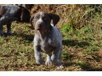 Silvagun - English Pointers and German Shorthaired Pointer Breeder - Harden, NSW