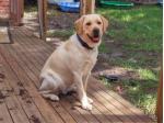 Jodielassie Labrador Retriever Breeder - Melbourne, VIC