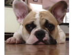 Bullfranco French Bulldog and Pug Breeder - Sunshine Coast, QLD