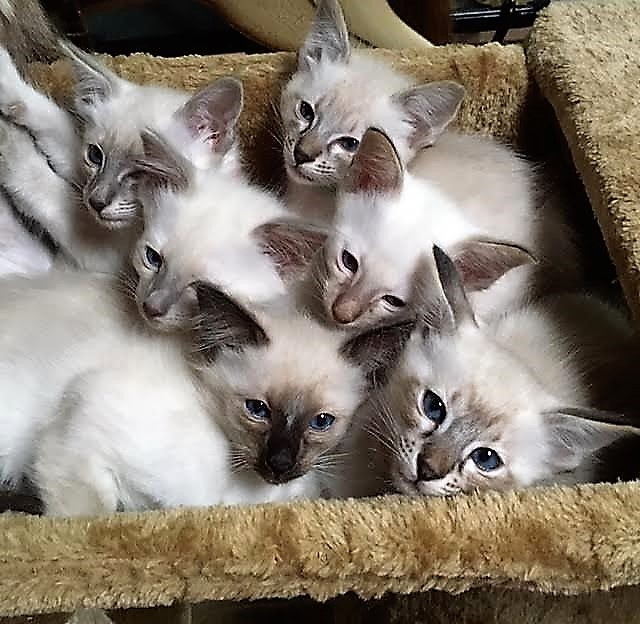 Litter of Balinese kittens