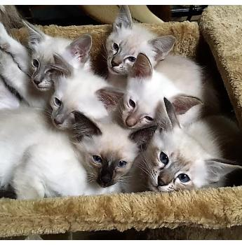 Kittens For Sale From Registered Cat Breeders In Victoria Vic