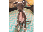 Sunluva Italian Greyhound Breeder - Gold Coast, QLD