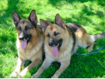Glenbala German Shepherd and Border Collie Breeder - Goulburn, NSW