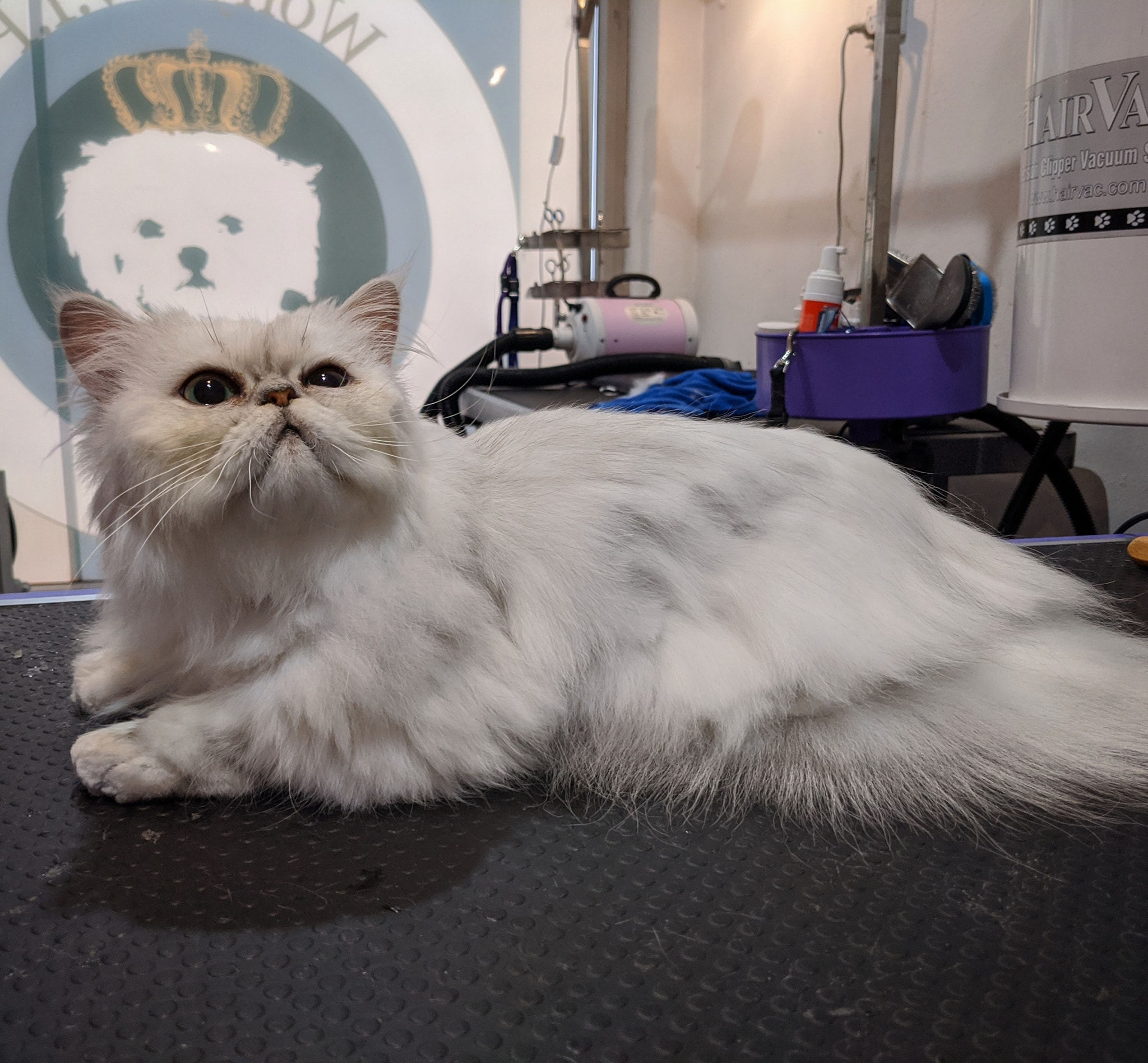 Gorgeous Cats after grooming! gallery image
