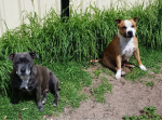 Moltobello staffs - Staffordshire Bull Terrier Breeder - Perth, WA