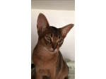 Nericon Abyssinians - Abyssinian Cat Breeder - Griffith, NSW