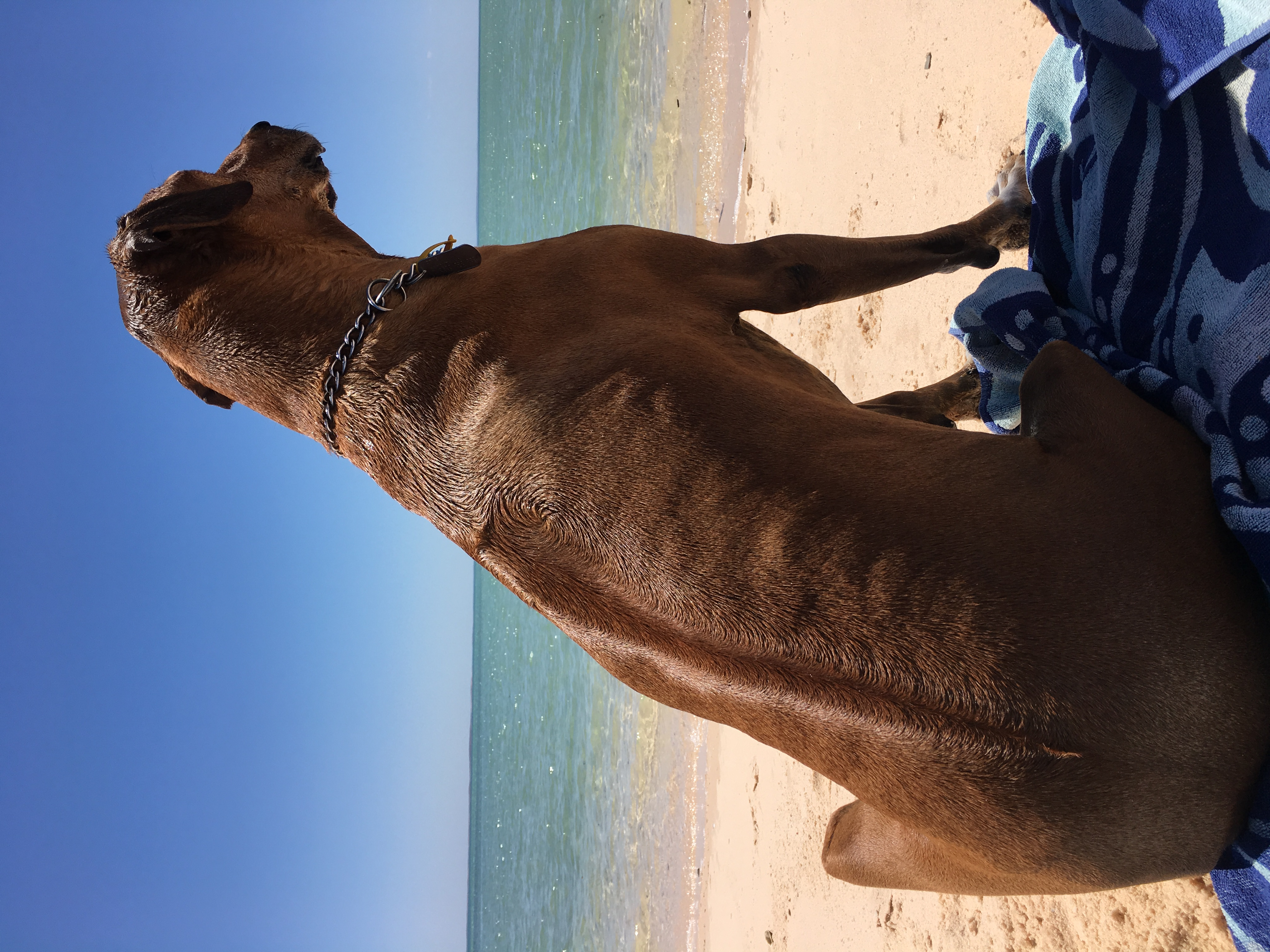 Odie on guard duty at the beach. gallery image