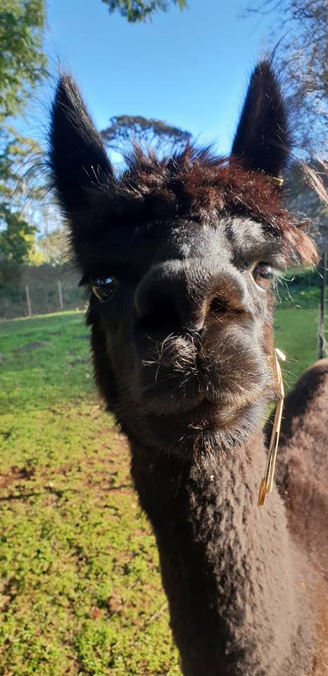Meet our Alpaca