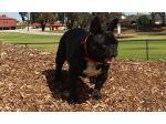 Bullmonty - French Bulldog Breeder - Adelaide, SA