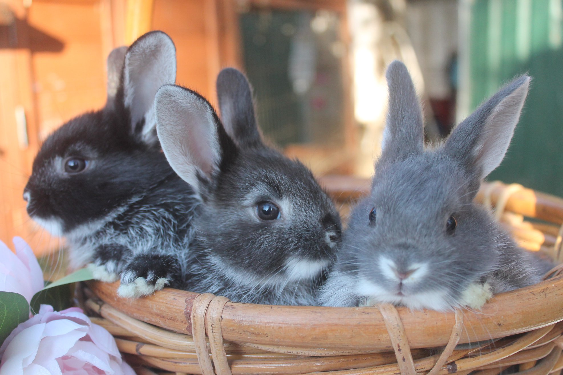 Silver fox babies - super rare rabbits.