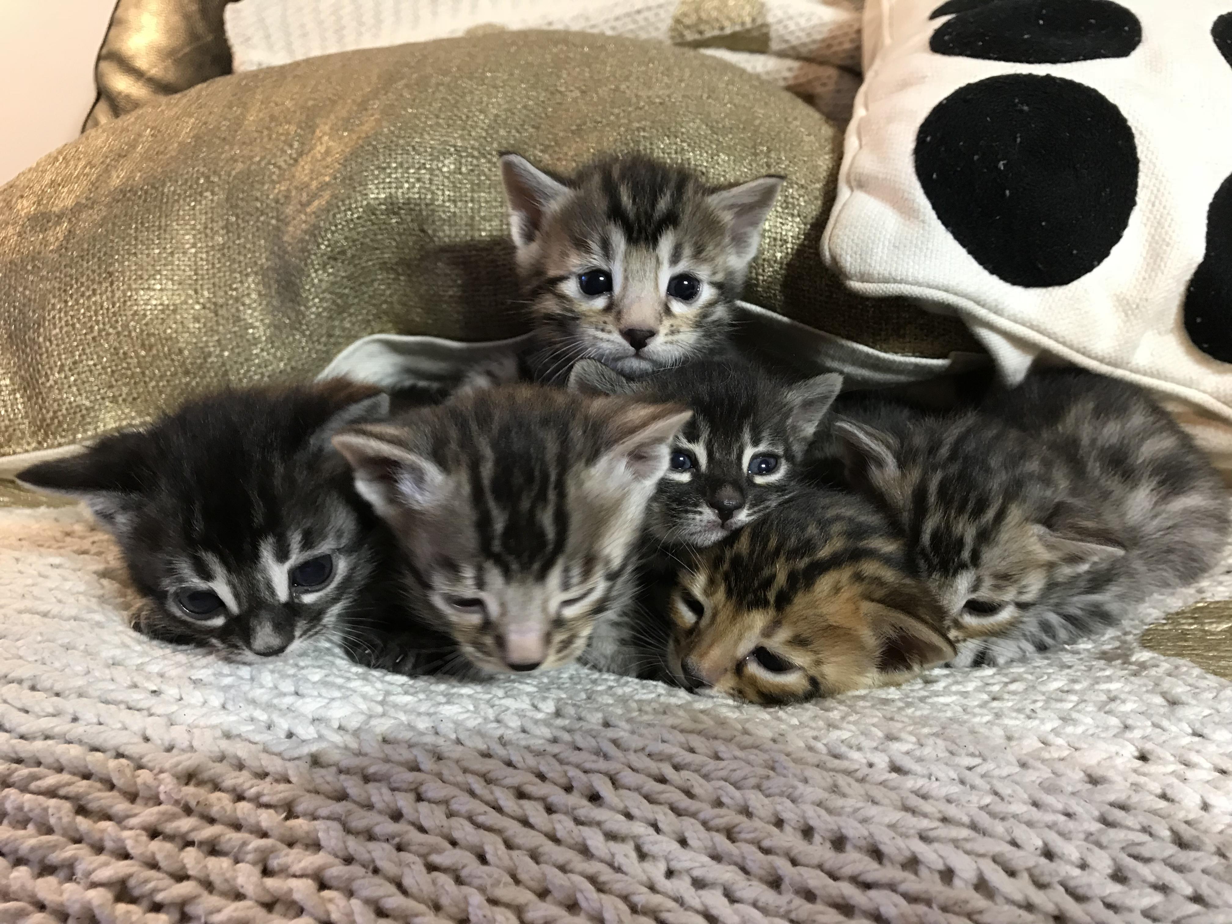 JunglePaws Kittens gallery image