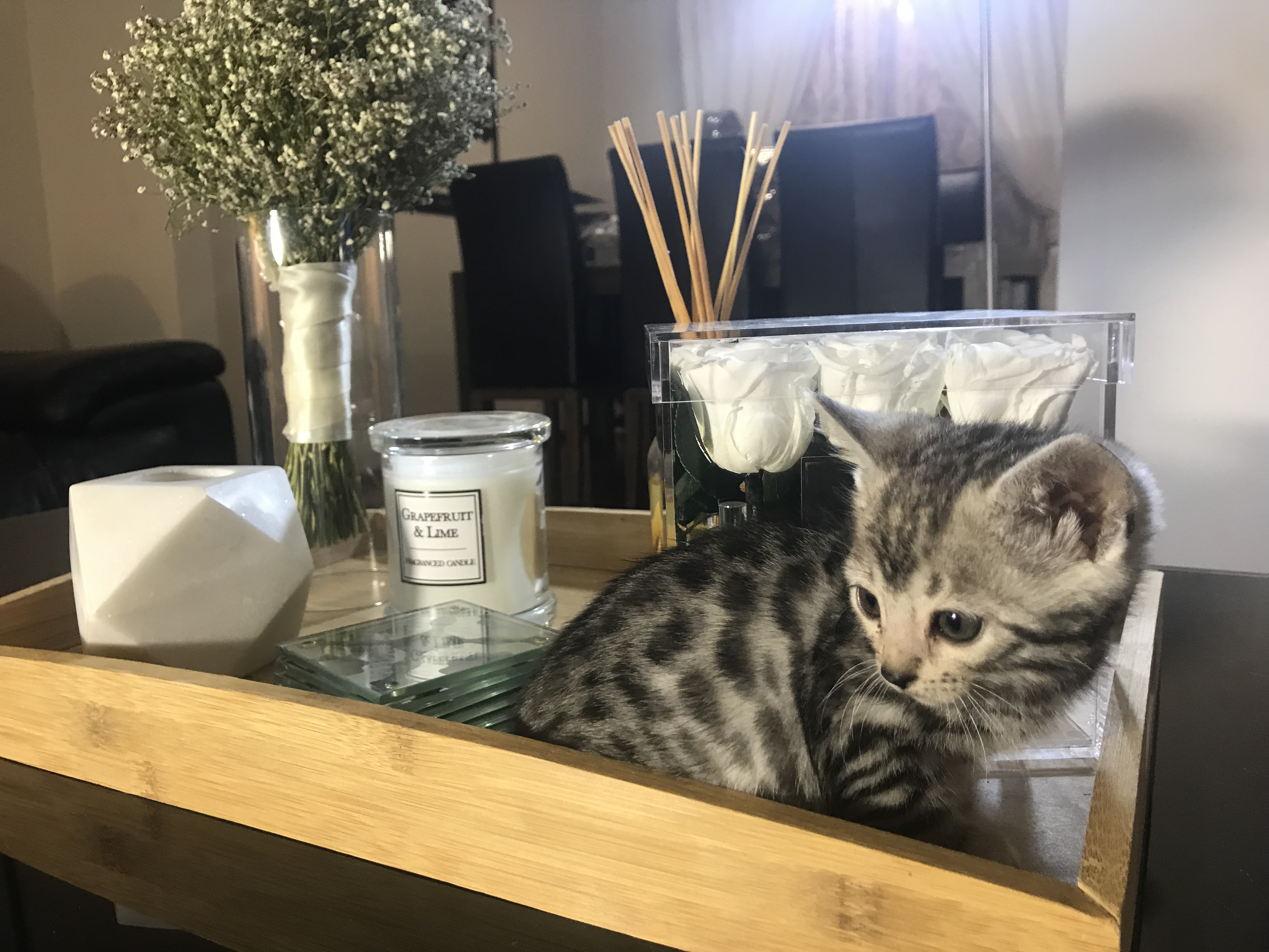 JunglePaws Silver Kitten  gallery image