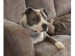 Malagorlad Amstaffs - American Staffordshire Terrier Breeder  - Melbourne, VIC
