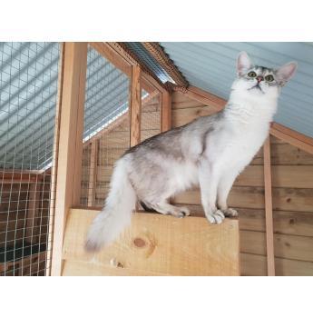 Silamos Silver Somalis - Somali Cat Breeder - Western Flat, SA
