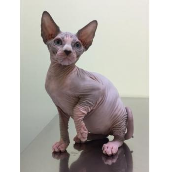 Registered Sphynx Cat Breeders Australia