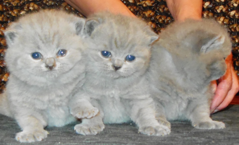 Ambritt Kittens