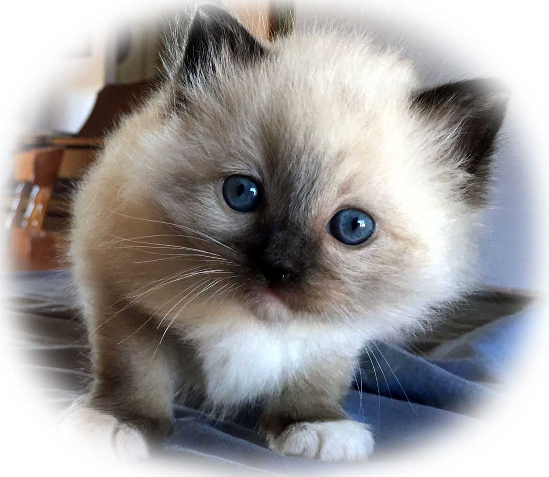 Raggies Ragdoll seal mitted gallery image