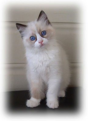 Raggies Ragdoll seal bi-colour gallery image