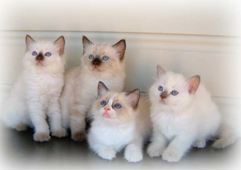 Bunch of Raggies Ragdoll kittens gallery image