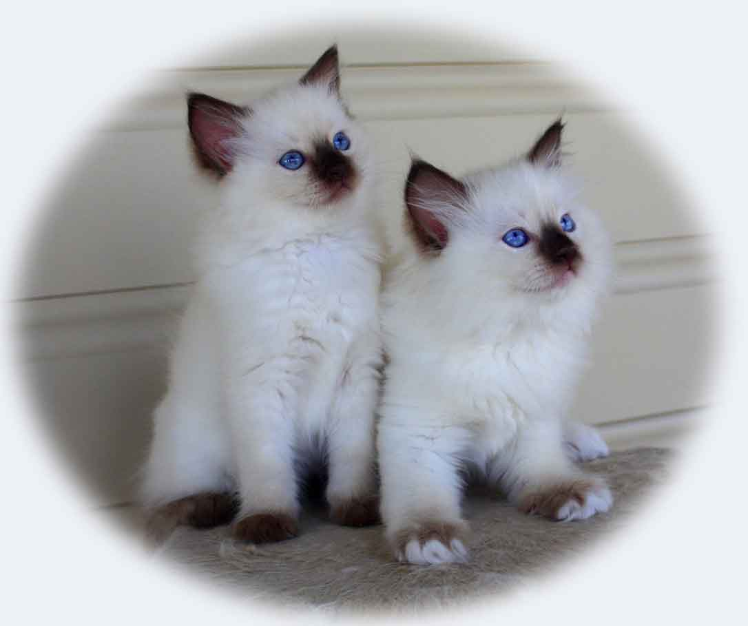 Raggies Ragdoll seal point and seal mitted