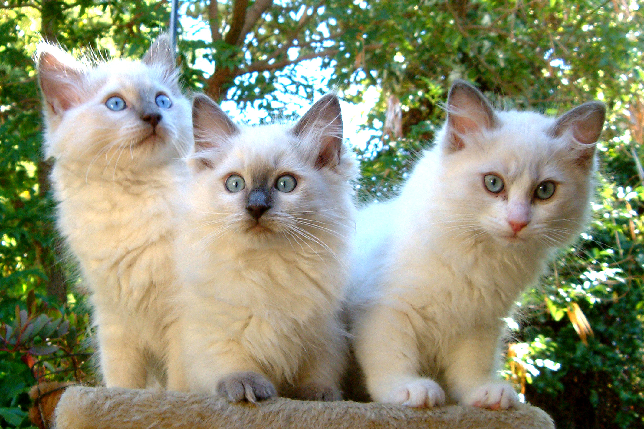 Ragdoll lilac point, blue point and blue bi colour gallery image