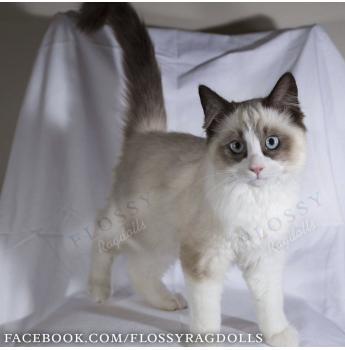 Flossy Ragdolls Ragdoll Cat Breeder Two Wells Sa