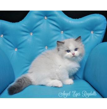 Angel Eyes Ragdolls - Ragdoll Cat Breeder - Maroochydore, QLD
