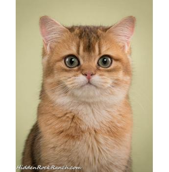 Salvador Golden British - British Shorthair SE QLD