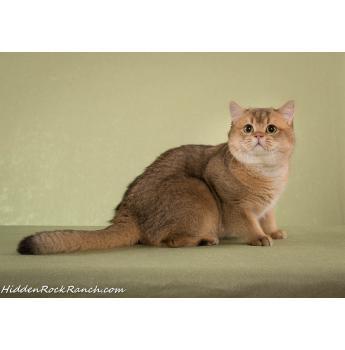 Salvador Golden British - British Shorthair SE QLD