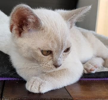 Amalea Burmese Cats gallery image