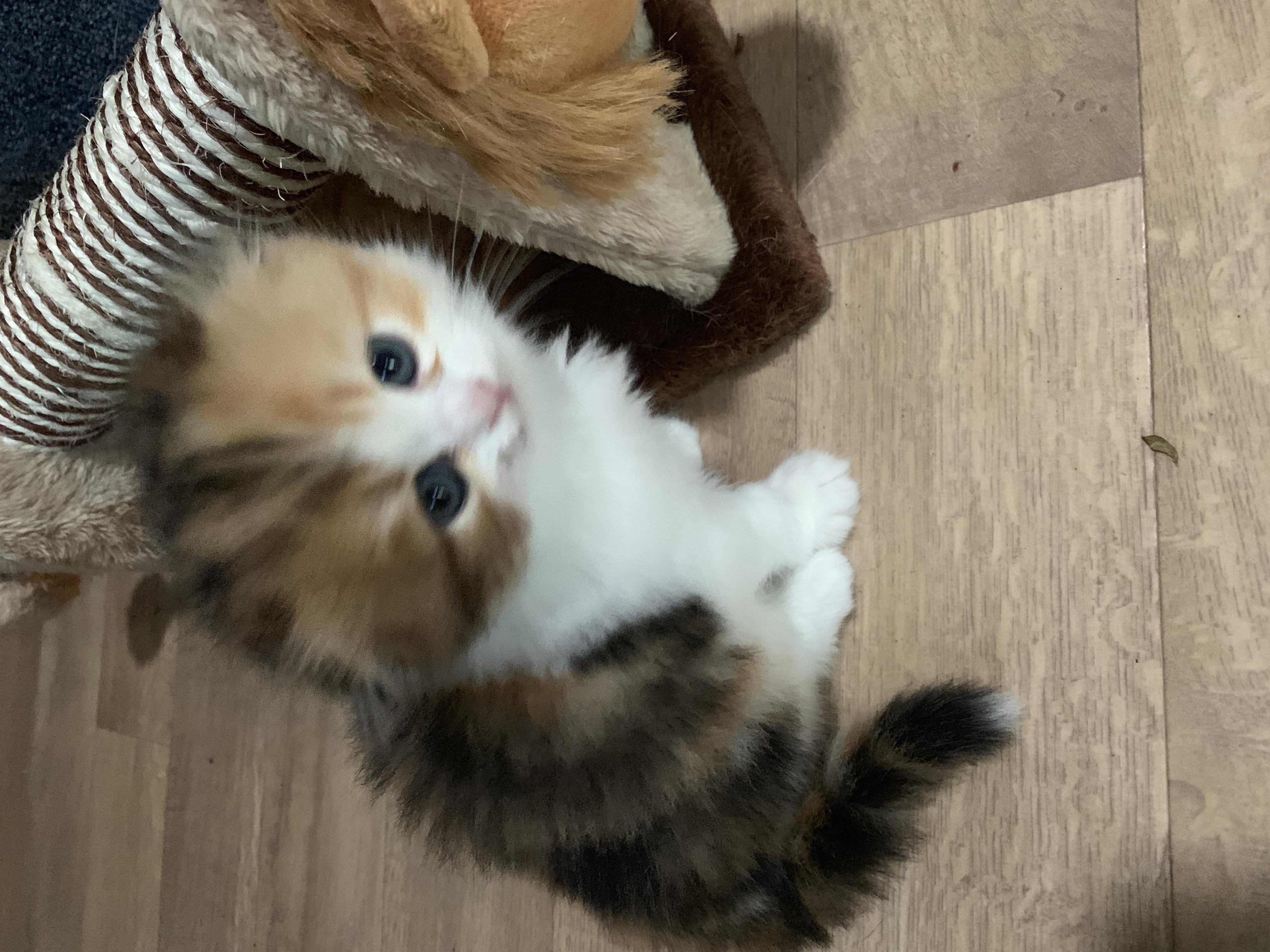Longhair kitten gallery image