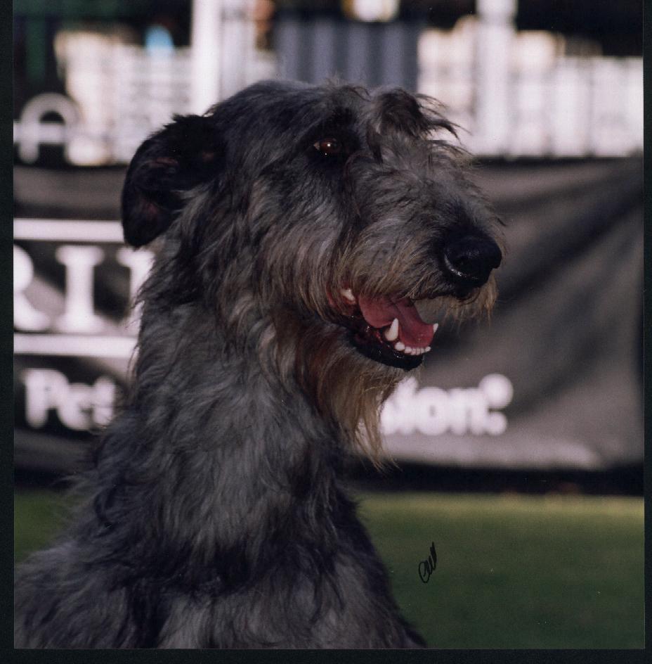 Deerhound girl at Sydney Royal