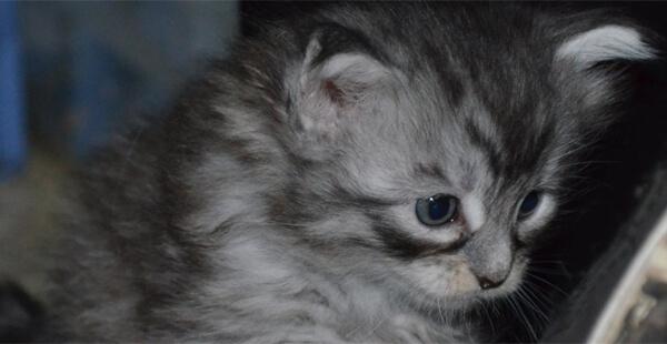 Maine Coon Kitten gallery image