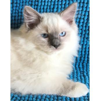 Tambourah Ragdolls - Ragdoll Cat Breeder - Perth, WA