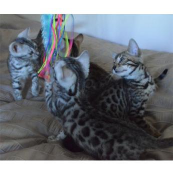 Registered Bengal Cat Breeders Australia