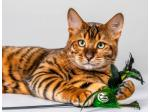El'Sprite -  Toyger and Tonkinese Cat Breeder - Oberon, NSW