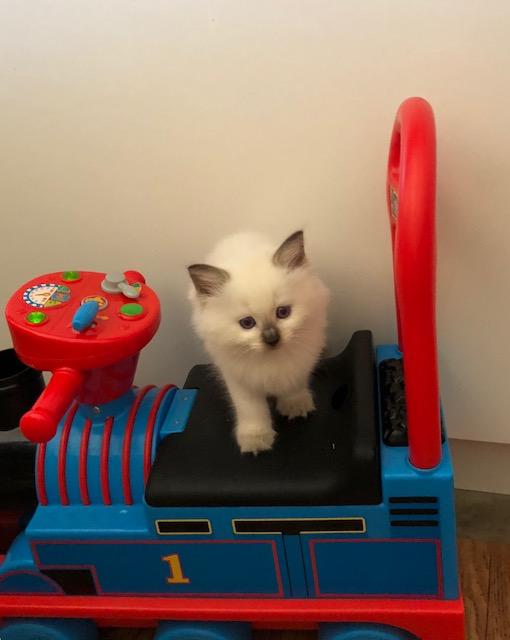 Blue Point Kitten gallery image