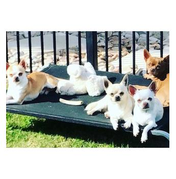 Nirechi Chihuahuas Chihuahua Breeder Brisbane Qld