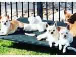 Nirechi Chihuahuas - Chihuahua Breeder - Brisbane, QLD