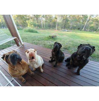 Shar Pei Breeders Australia Shar Pei Info Puppies