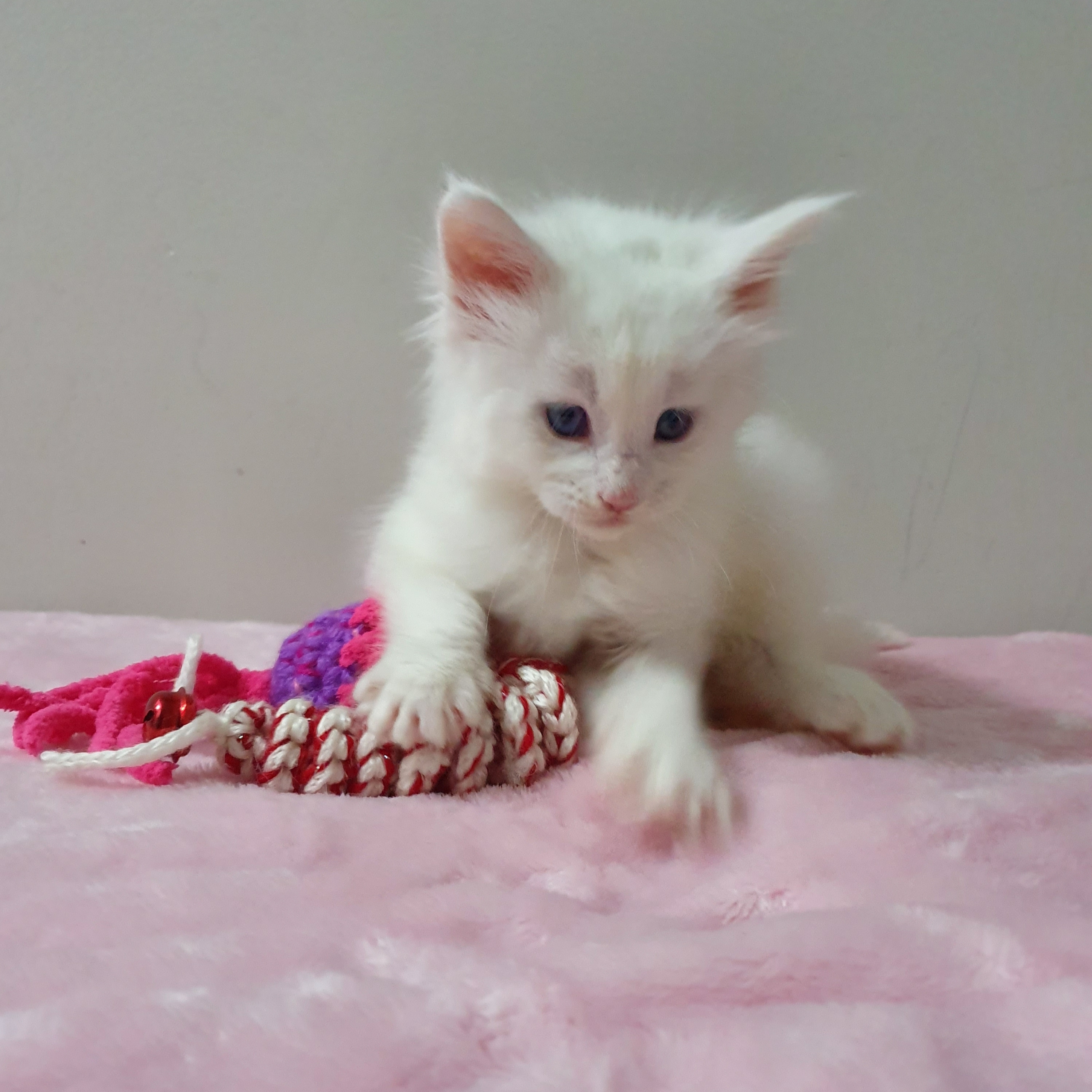 Maine Coon Kitten Available  gallery image