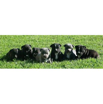 Oursonora Staffordshire Bull Terriers - TOWNSVILLE, North QLD