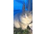 Pearlz Ragdolls - Ragdoll Cat Breeder - Townsville, Qld