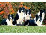 Dreamwood Border Collies - Windera, NSW